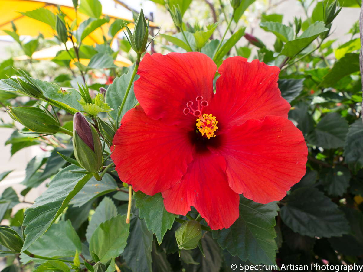 Gorgeous tropical flowers,  in vibrant reds, yellows, and more,  are everywhere in Hawaii.