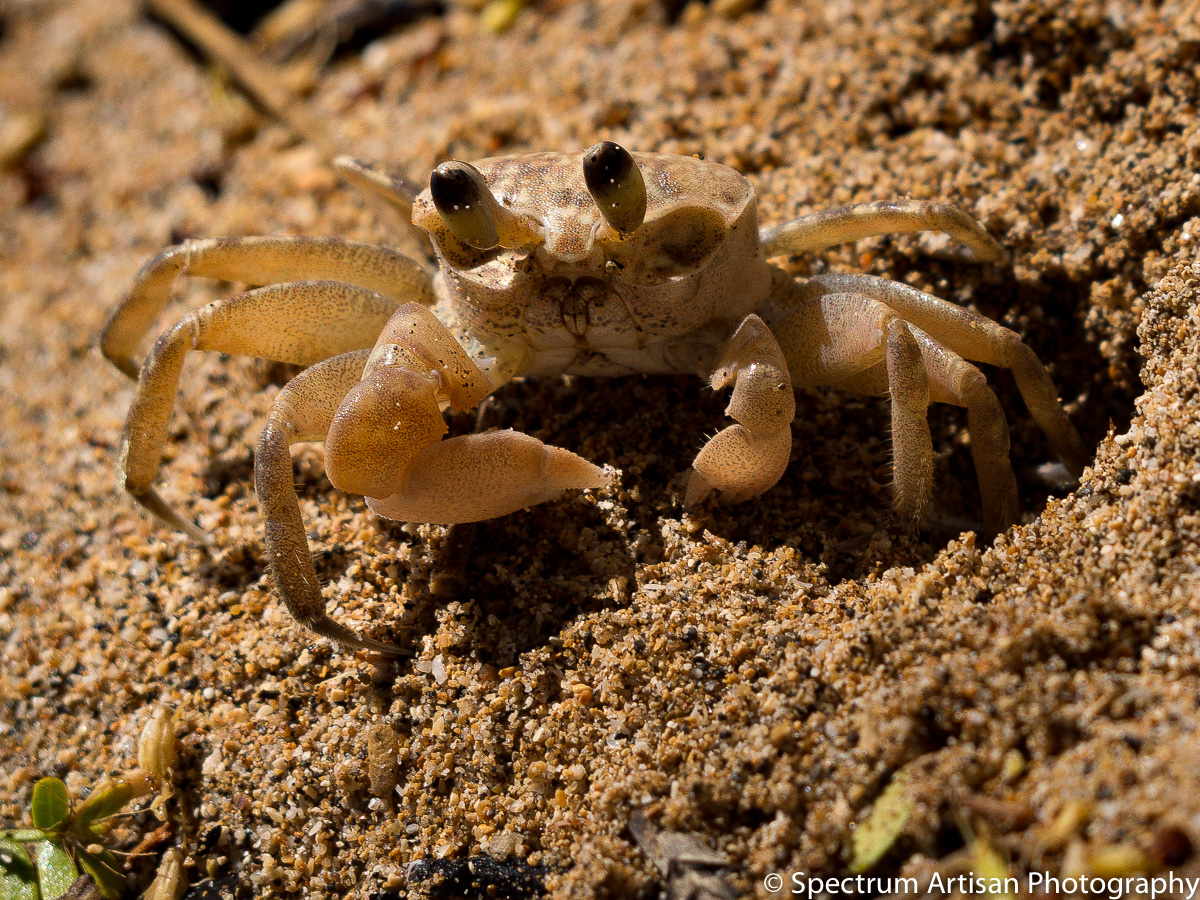 crab, beach, nature, critter, photo