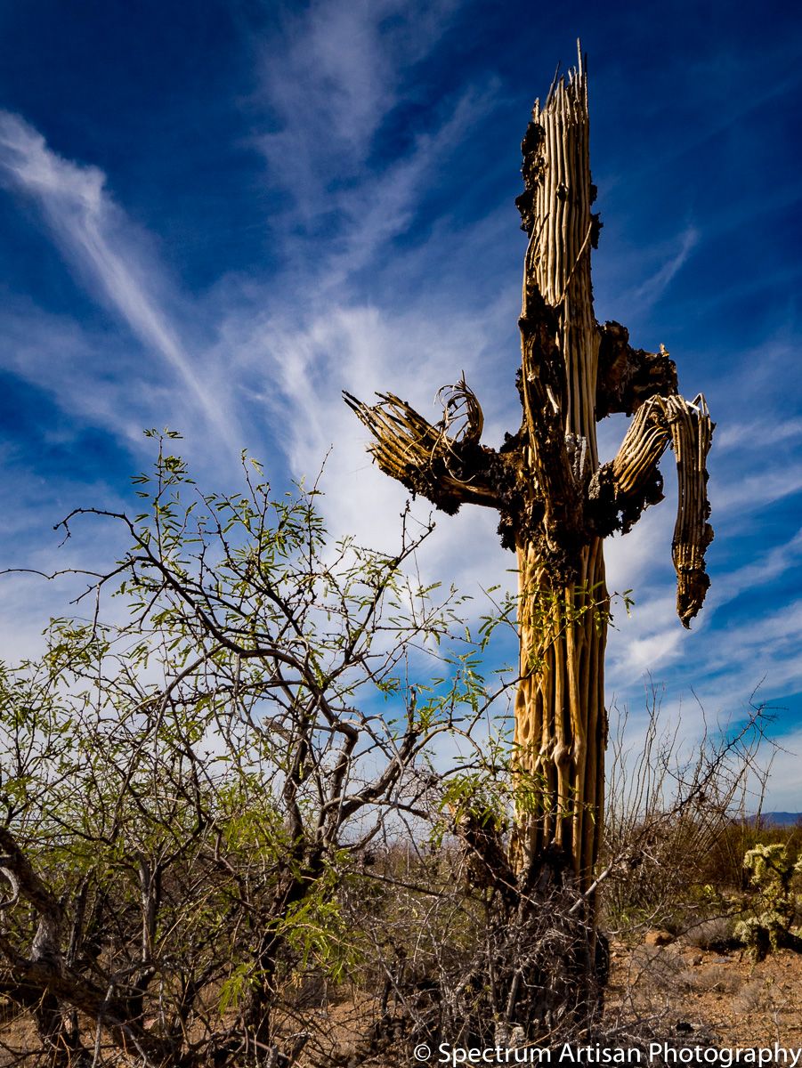 Cactus have very strong wood skeleton.  The Saguaro ribs are used for fences, ramadas, furniture, and many other things.