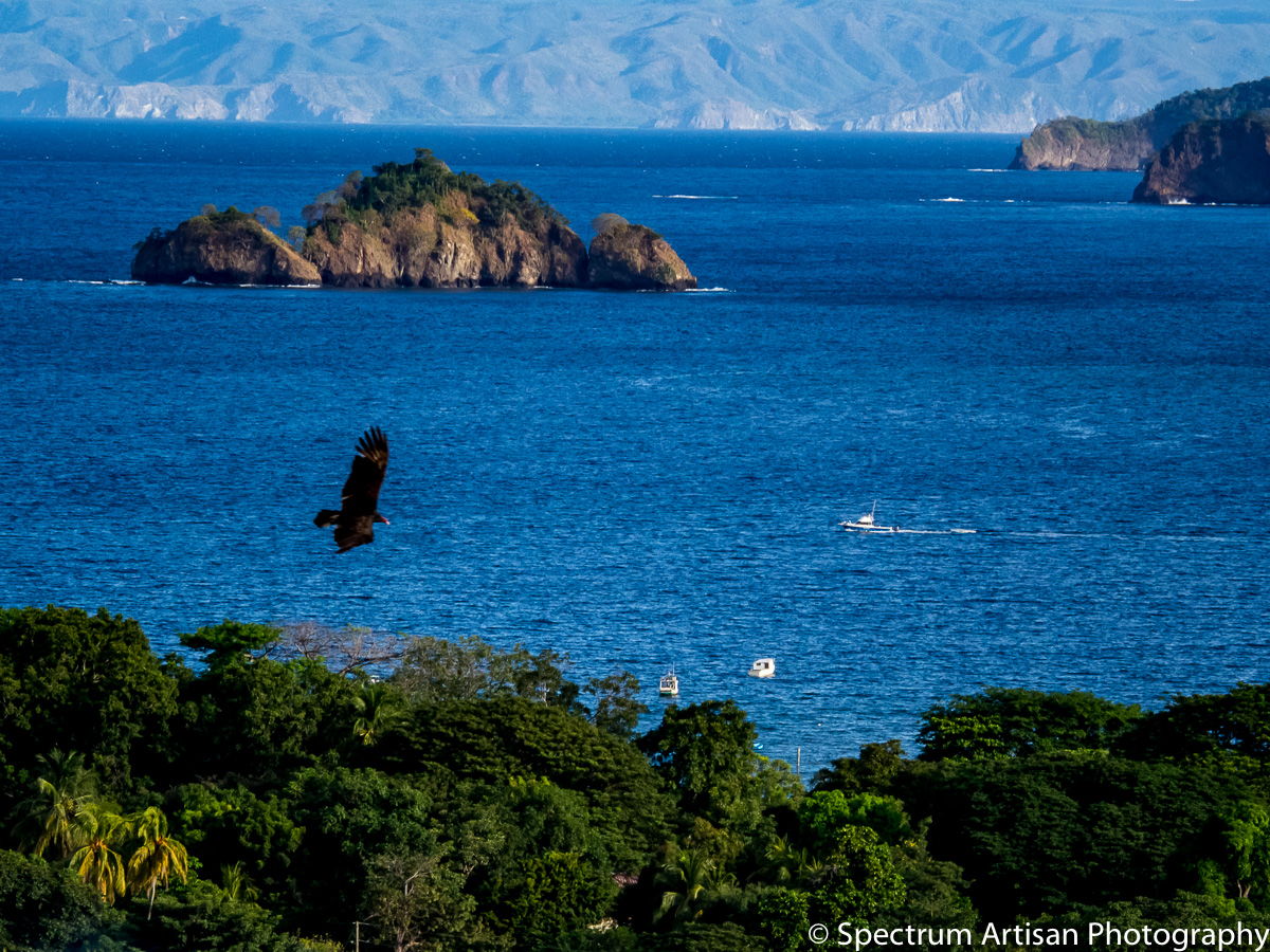Vulture soaring while hunting and looking for his prey in Costa Rico.